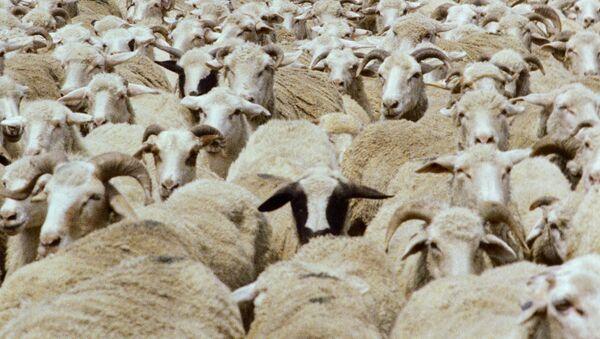Перегонка овец на летние пастбища. Архив