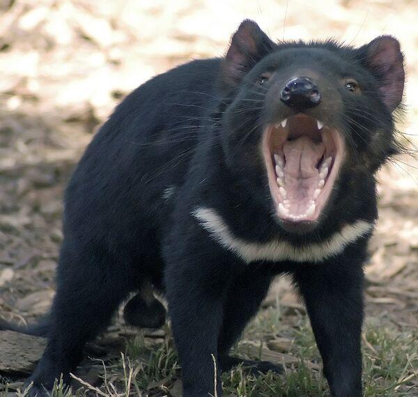 Тасманийский дьявол Седрик заболел