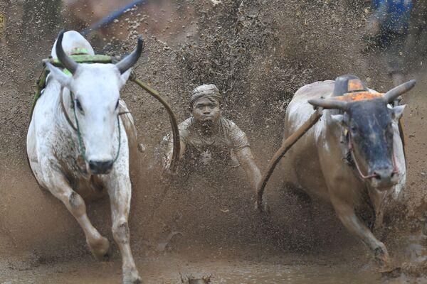 Участник традиционных гонок на быках Pacu Jawi на Суматре, Индонезия