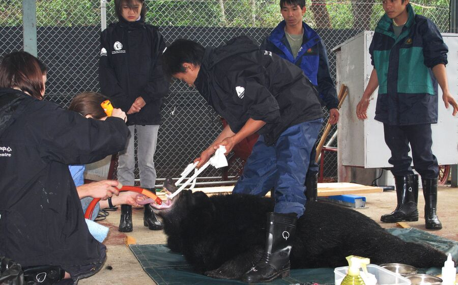 Ветеринары Фонда Животные Азии вводят успокоительное медведю в спасательном центре во Вьетнаме
