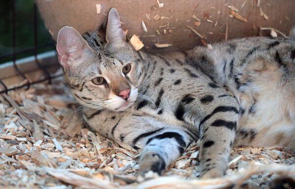 Кошка породы саванна F1 на выставке самых редких домашних кошек в Ботаническом саду МГУ Аптекарский огород