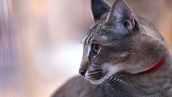 Кошка породы каракет на выставке самых редких домашних кошек в Ботаническом саду МГУ Аптекарский огород