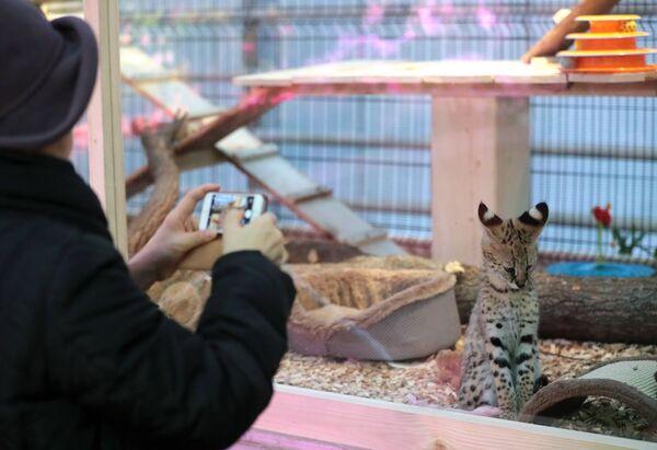 Котенок породы сервал на выставке самых редких домашних кошек в Ботаническом саду МГУ Аптекарский огород