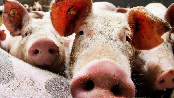 Свиньи в стойле.