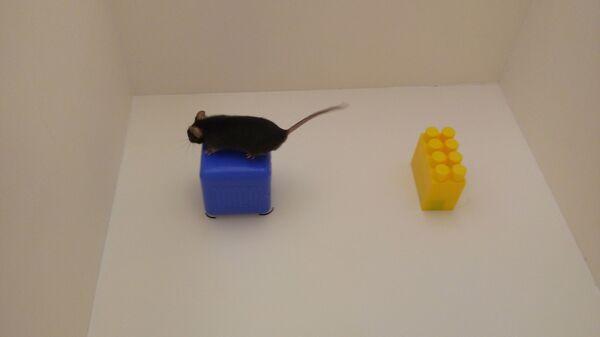 Асоциальная мышь изучает новые объекты в своей клетке
