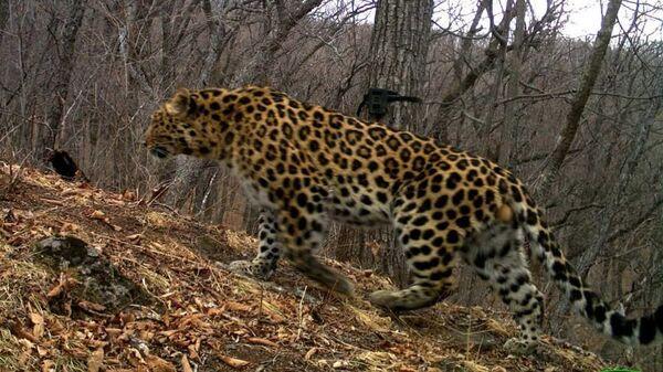 Дальневосточный леопард Всеволод. Архивное фото