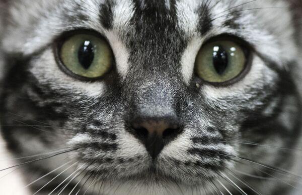 Кошка на международной выставке кошек в Сан-Хосе