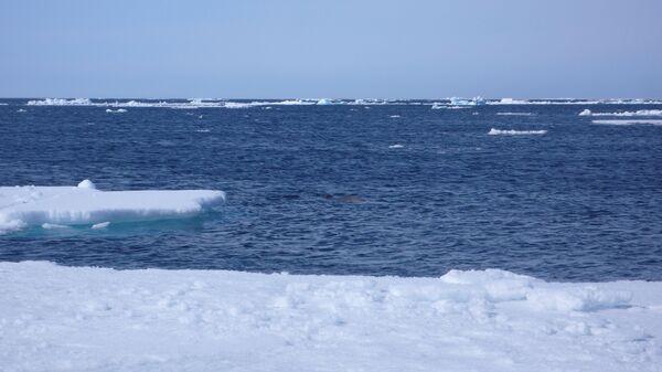 Тюлень охотится за рыбой. Полынья в арктических льдах привлекает все живое