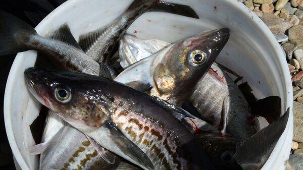 Минтай, пойманный в Уссурийском заливе Приморского края