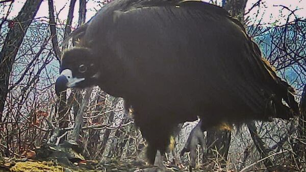 Снимок черного грифа сделан фотоловушкой в национальном парке Земля леопарда