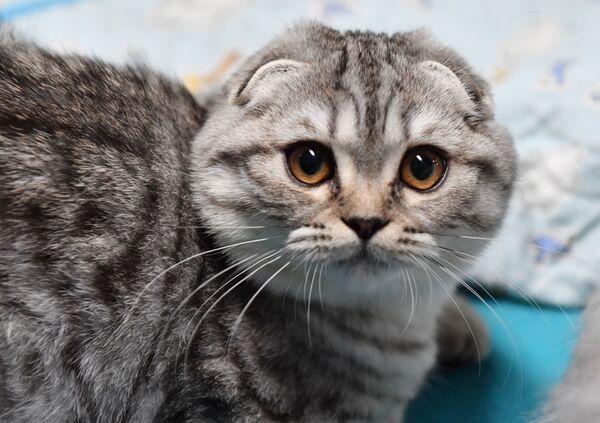 Кошка породы скоттиш-фолдна выставке котят Любимчик в галерее Мир кошек в Москве