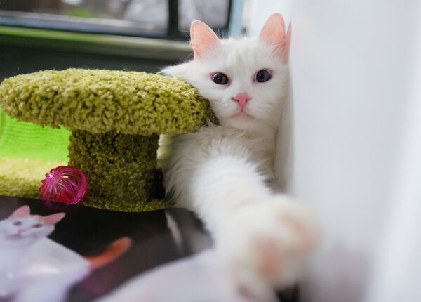 Кошка породы турецкий ван на выставке котят Любимчик в галерее Мир кошек в Москве