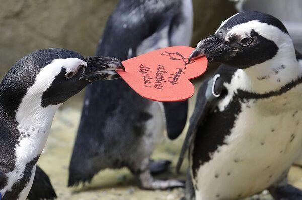 Африканские пингвины с валентинкой в Калифорнийской академии наук в Сан-Франциско