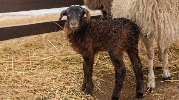 Детеныш эдильбаевского барана Елисея и длиннохвостой тонкорунной овцы Долли,  появившийся на свет на Городской ферме на ВДНХ