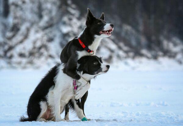 Собаки породы бордер-колли по кличке Женева и Белка во время тренировки под Красноярском