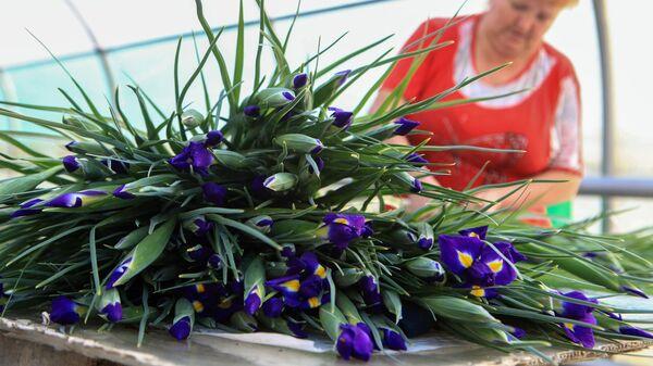 Сбор урожая ирисов в преддверии праздника 8 марта