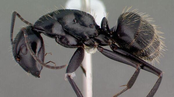 Черный муравей-древоточец