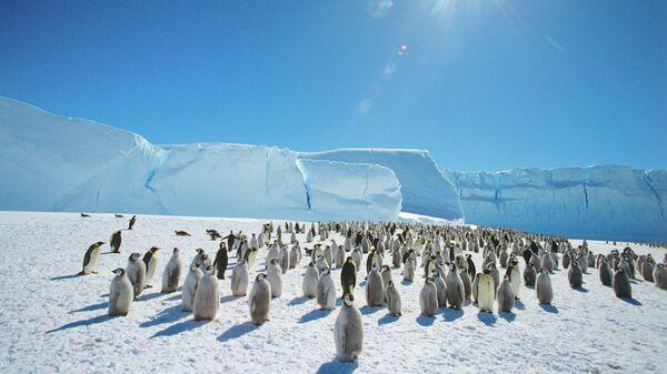 Колония императорпских пингвинов в районе станции Мирный в Антарктиде