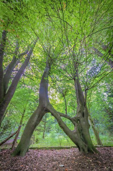 Дерево Нелли, Соединенное Королевство