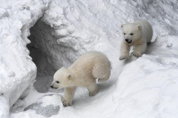 Медвежата, родившиеся у белых медведей Герды и Кая, в вольере Новосибирского зоопарка