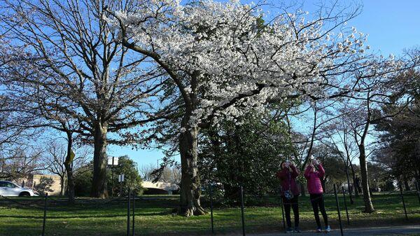 Цветение сакуры в Вашингтоне, округ Колумбия