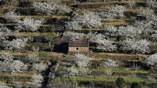 Цветение сакуры в Касересе, Испания