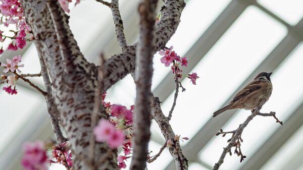 Цветение сакуры в Сингапуре