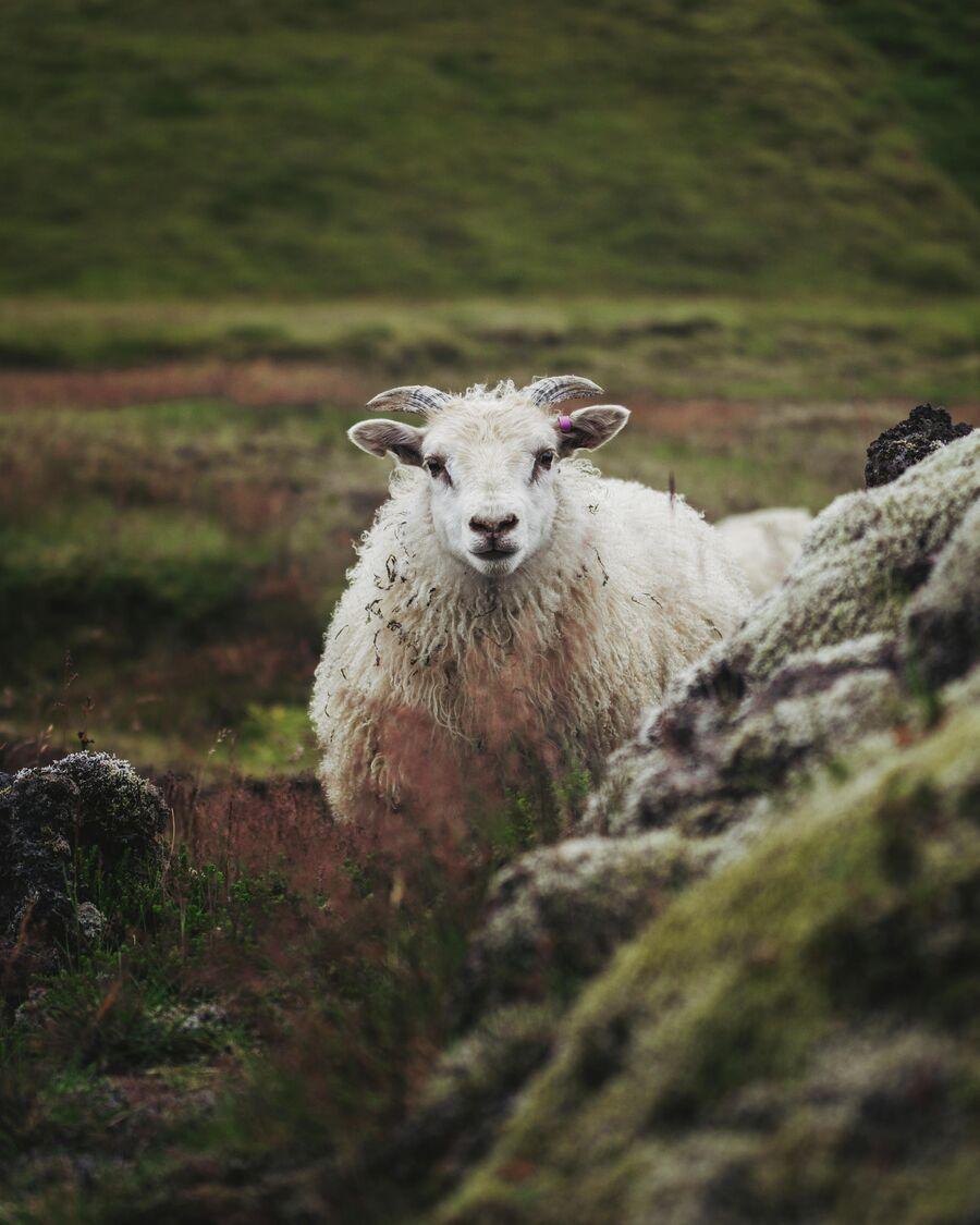Исландия. Овцы в долине Ландманналаугар