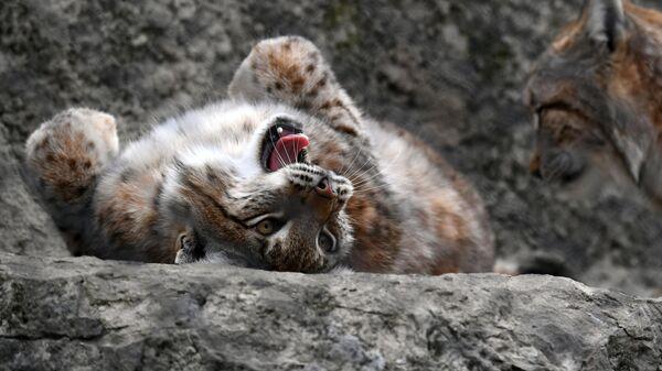 Рысь в вольере Московского зоопарка