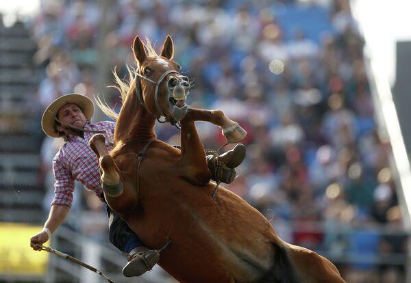 Гаучо объезжает лошадь во время Креольской недели в Монтевидео, Уругвай