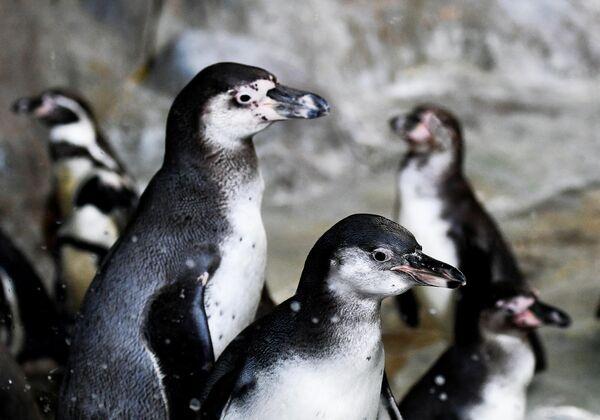 Пингвины Гумбольдта в Московском зоопарке