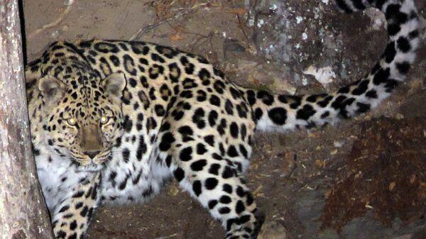 Дальневосточный леопард в нацпарке Земля леопарда