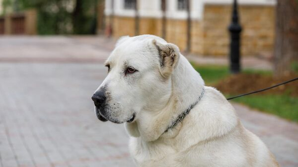 Собака породы алабай