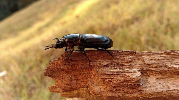 Жук-рогач, чьим поведением управляет червь-паразит