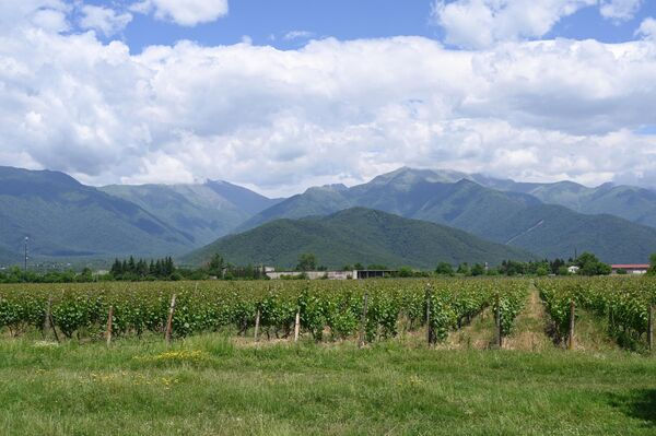 Виноградники в Алазанской долине в регионе Кахетия в Грузии