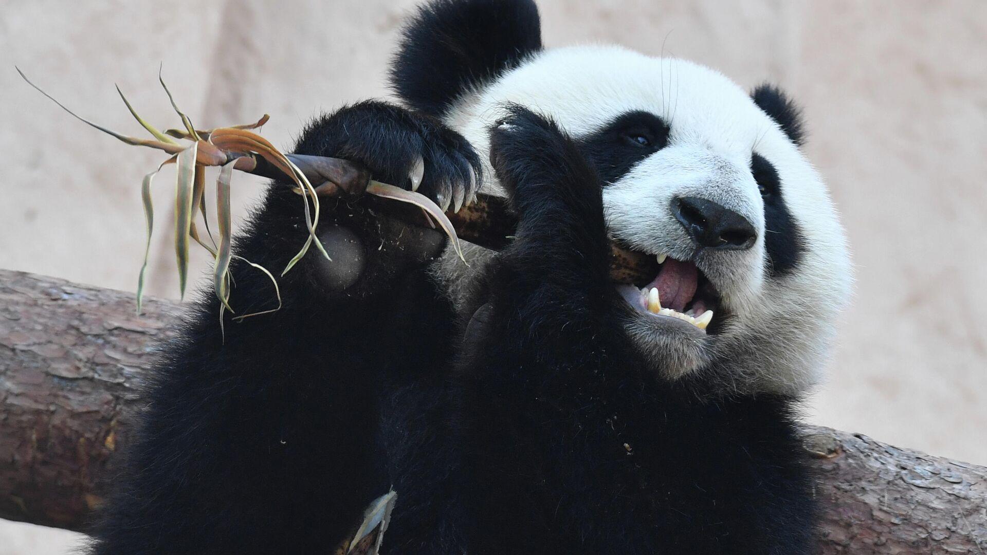 Большая панда, переданная Китаем Московскому зоопарку, в павильоне Фауна Китая - РИА Новости, 1920, 25.06.2021