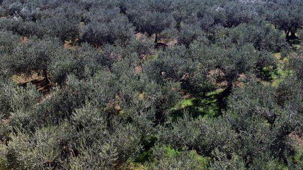 Плантация оливковых деревьев