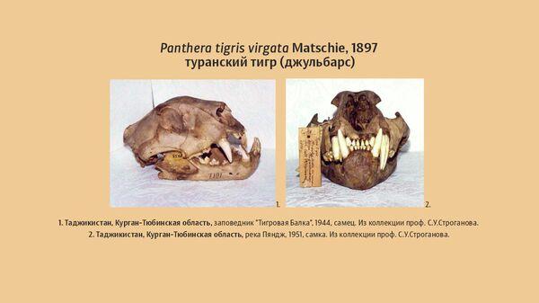 Черепа туранского тигра в научной коллекции Сибирского зоологического музея (Новосибирск) ИСиЭЖ СО РАН