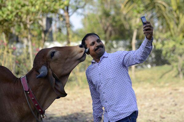 Виджай Парсана делает селфи со своей коровой Пунаме накануне ее свадьбы с быком Арджуне