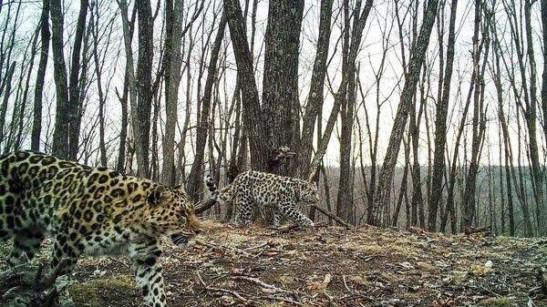 Самка леопарда-крестницы актрисы Памелы Андерсон Leo 38F в сопровождении котенка