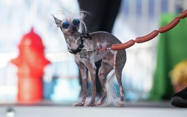 Собака по кличке Rascal Deux, участвующая в ежегодном конкурсе Самая уродливая собака в мире