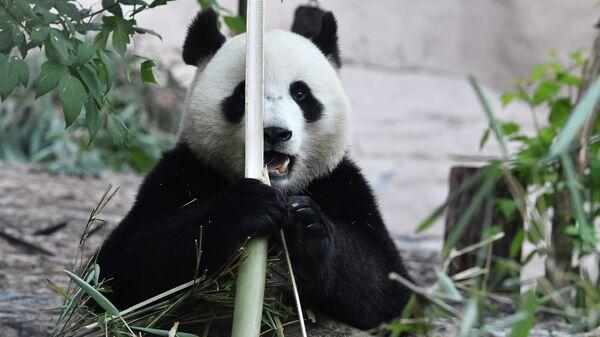 Большая панда в Московском зоопарке