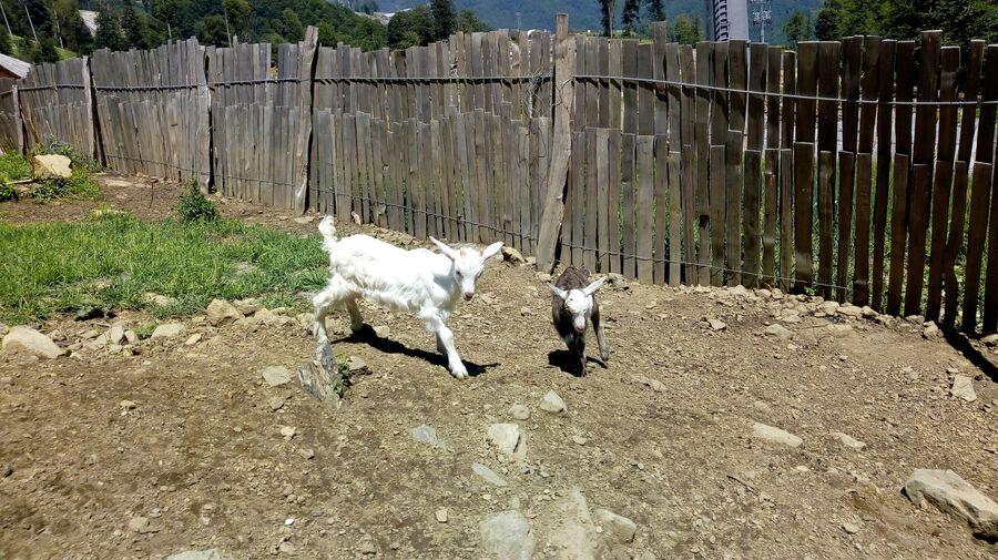 Козлята на хуторе