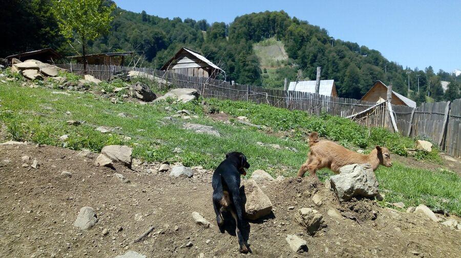 Щенок догоняет козленка на хуторе
