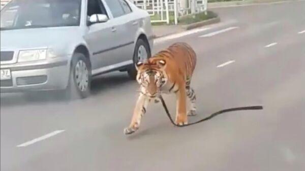 Стоп-кадр видео, на котором из стоящего в городской пробке автомобиля выбежал тигр