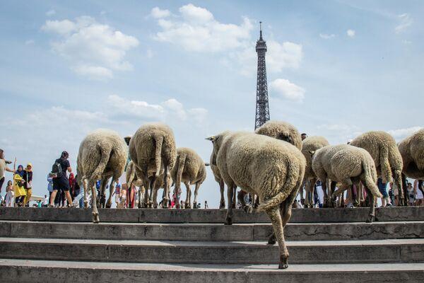 Перегон овец в Париже