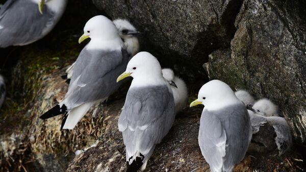 Моевки с птенцами на птичьем базаре острова Колючин в Чукотском автономном округе