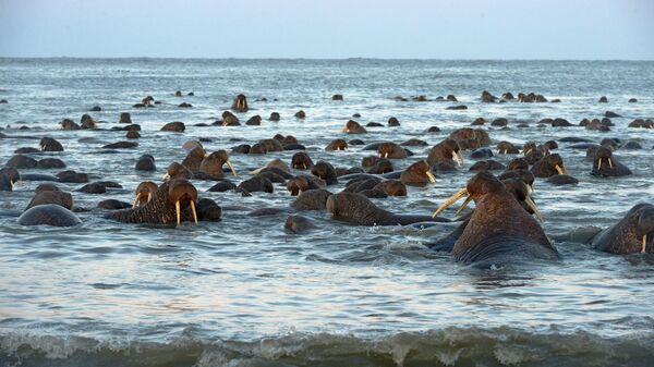 Моржи на лежбище Чукотского полуострова