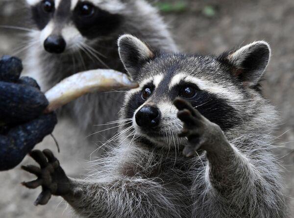 Еноты-полоскуны во время кормления в Парке мелких хищных зверей Приморского сафари-парка