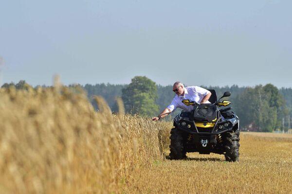 Президент Белоруссии Александр Лукашенко проверяет созревание зерновых культур на поле в Шкловской области